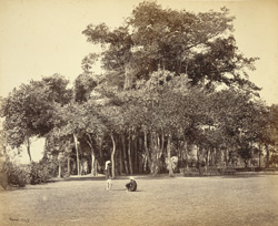 Banian tree in Barrackpore Park - General view